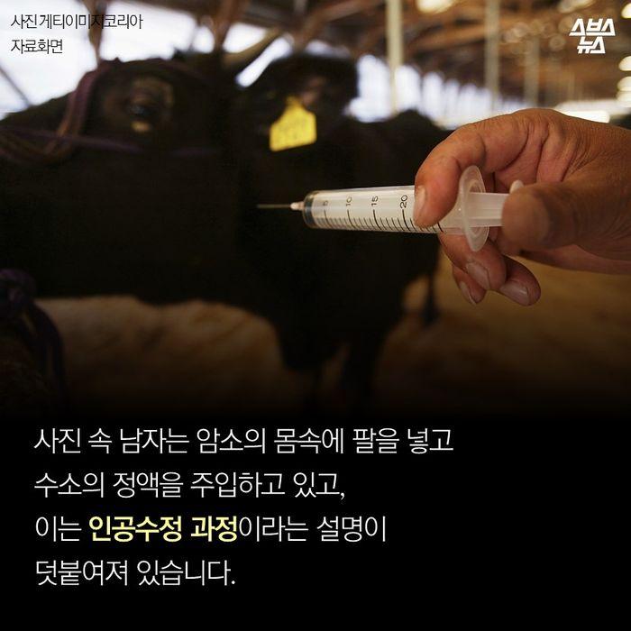 우유 생산 위해 인공수정하는 젖소…동