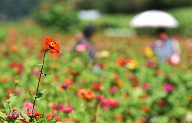 하양ㆍ분홍ㆍ노랑… 단풍보다 화려한 평
