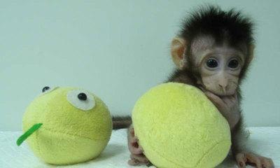 중국, 세계 최초 원숭이 복제 성공…