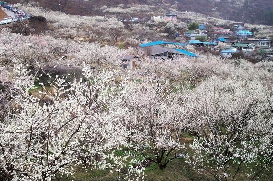매화, 산수유… 꽃 잔치 열리는 섬진