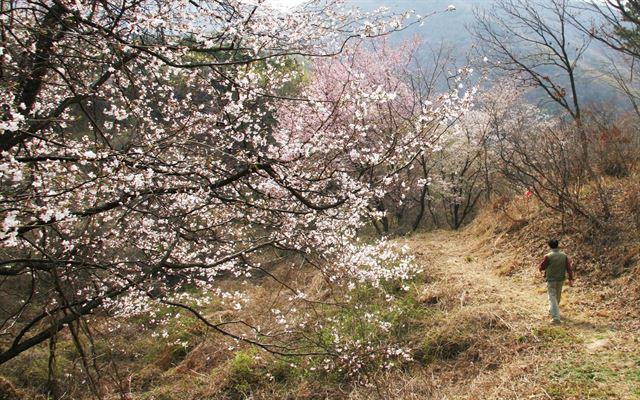 나날이 찬란한 산골의 봄… 금산 보곡