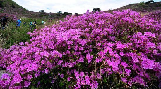 봄 끝자락, 곧 분홍빛 철쭉향연이 시