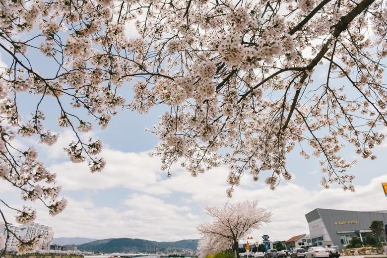 경주 벚꽃 여행코스 경주 1박2일 여