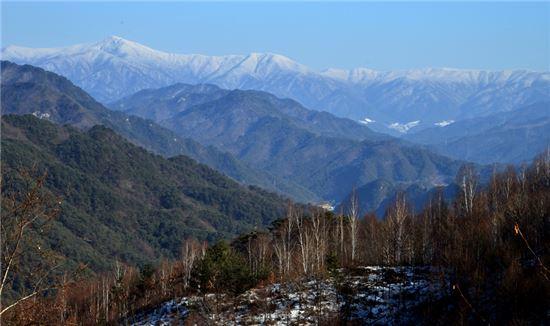 겨울 白美의 白眉… 숲에 들면 '자작