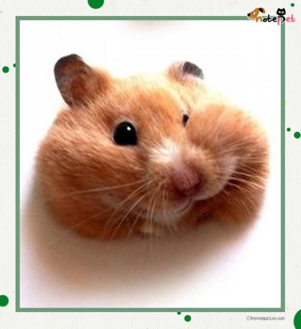 동글동글 찹쌀떡미 풍기는 햄스터