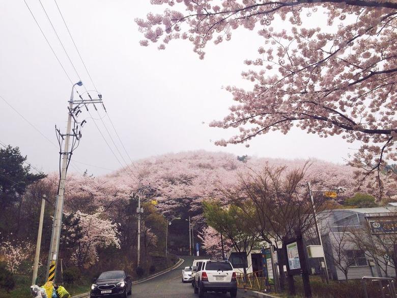 진해 벚꽃축제 로컬꿀팁 (창원/진해
