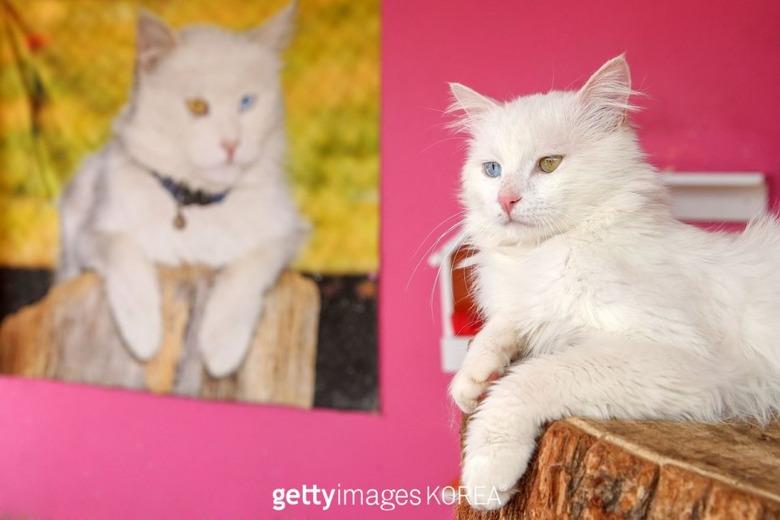 멸종위기의 오드아이 고양이