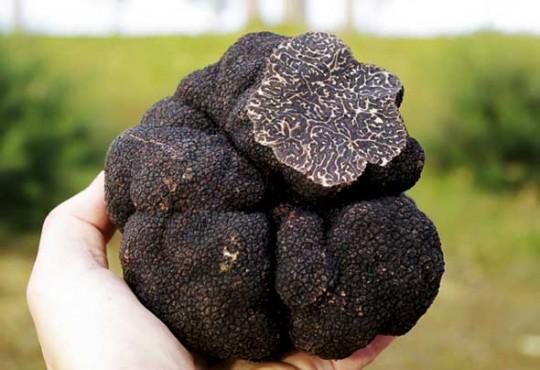 최고의 식재료 송로버섯: 셰프들은 왜