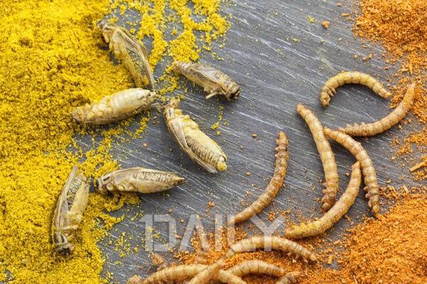 앞으로는 애벌레가 주요 식단? 미래