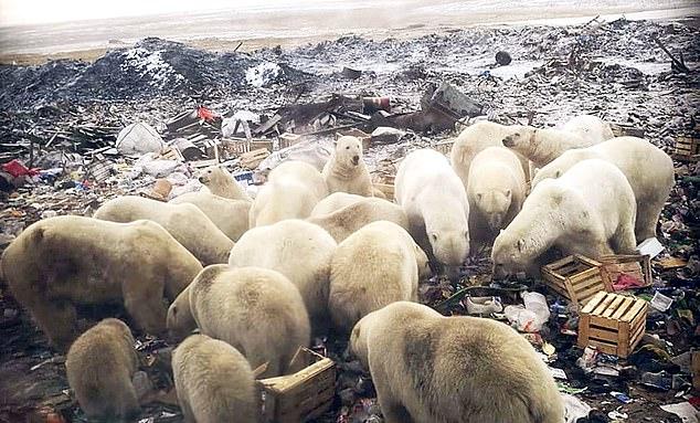 북극곰 50여 마리 떼로 마을 점령…