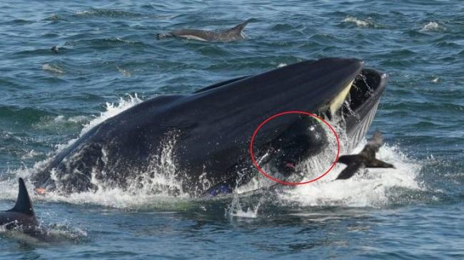 '못먹는거네, 퉤!'… 고래가 다이버