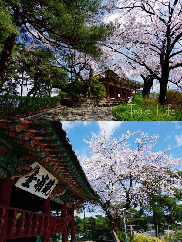 경포호 벚꽃, 관동제일 풍경의 '화룡
