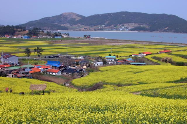 선학동마을, 봄에는 유채꽃으로 뒤덮이