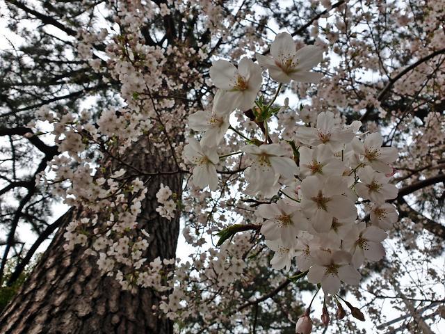 벚꽃·유채꽃·해변·현무암… 제주의 봄