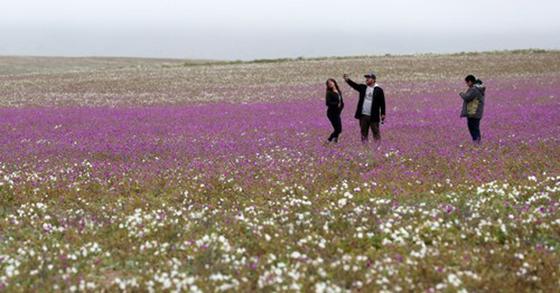 꽃밭이 된 사막…이상 기후가 빚은 풍