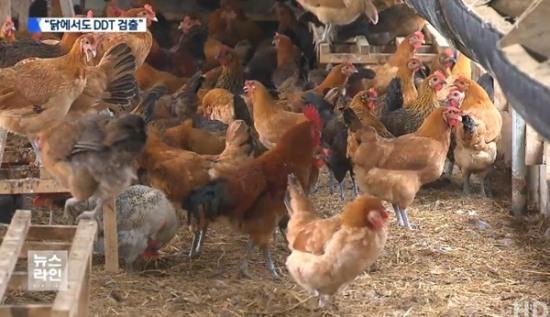 닭에서도 DDT 검출, 사람 체내에