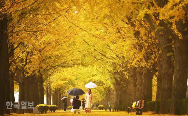 금빛 나비 황금 카펫… 절정의 가을
