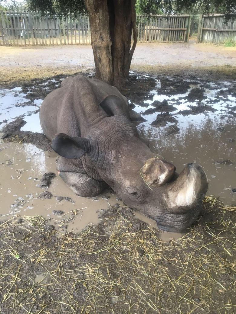 최후의 수컷 북부 흰코뿔소 안락사…사