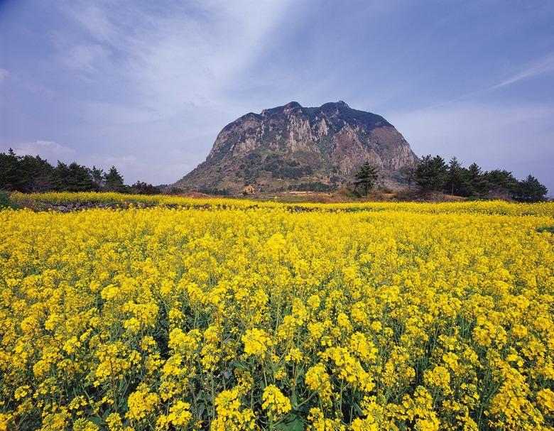 봄바람이 '살랑' 제주… 꽃천지 꽃내