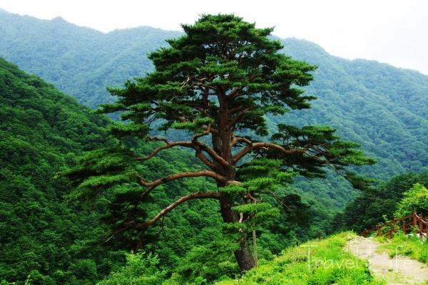 와운마을과 심산유곡을 지키는 천년송