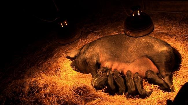 산골농장 원가자농에서 엄마 돼지 십순이가 새끼돼지를 낳은 날.