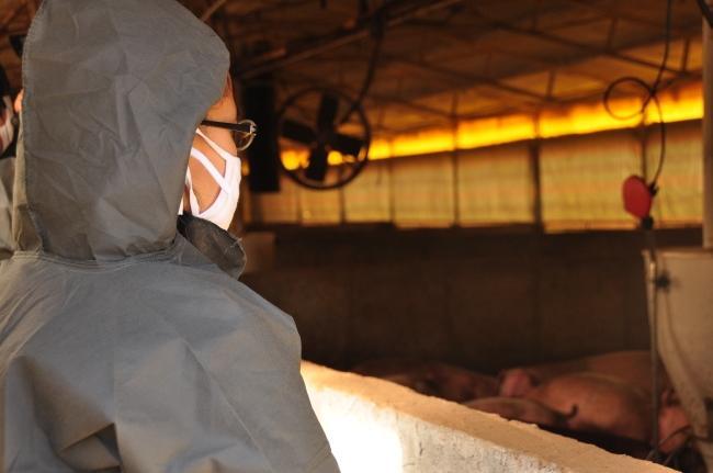 공장식 축산. 햇빛도 바람도 들지 않는 무창돈사에서 돼지들이 GMO 사료를 먹고 약물을 투여받으며 밀집사육된다.