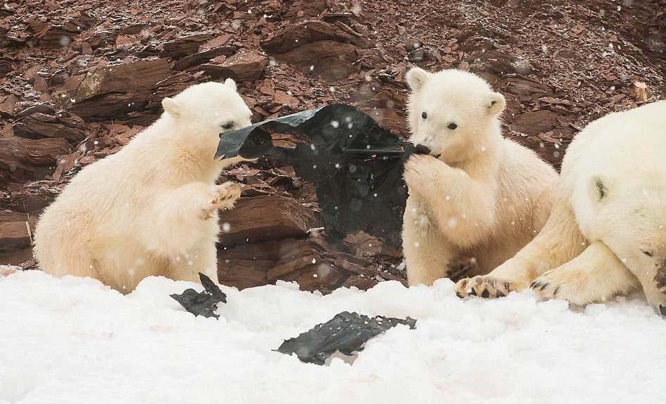 플라스틱 뜯어먹는 아기 북극곰 포착…