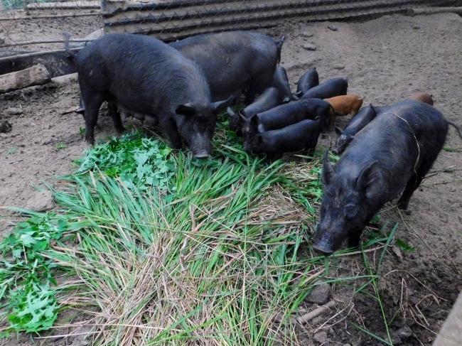 경북 봉화에 있는 유기농 자연양돈 농장의 돼지들이 풀을 먹고 있다. 이곳 돼지들은 왕고들빼기를 특히 좋아한다.