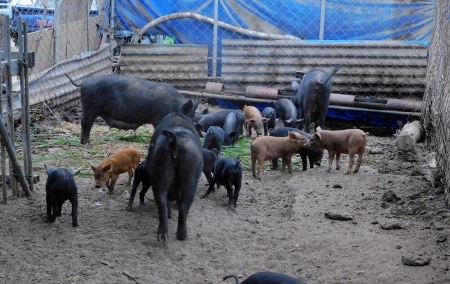 이곳 농장의 돼지들은 한 마리당 3.3㎡의 공간을 차지한다. 밀집 사육에서 비롯되는 스트레스가 적다.