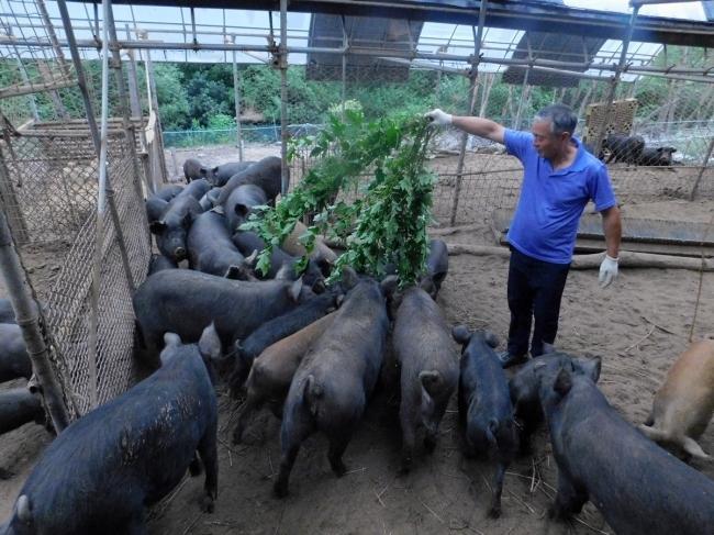 이곳 농장을 운영하는 임헌문 농부가 축사 안에서 풀을 먹이고 있다.