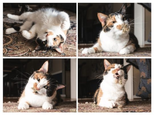 캣닙에 빠진 고양이들을 순간 포착하다