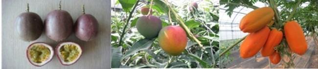 우리나라에서 재배중인 아열대작물, 왼쪽부터 '망고', '패션푸르트', '파파야'