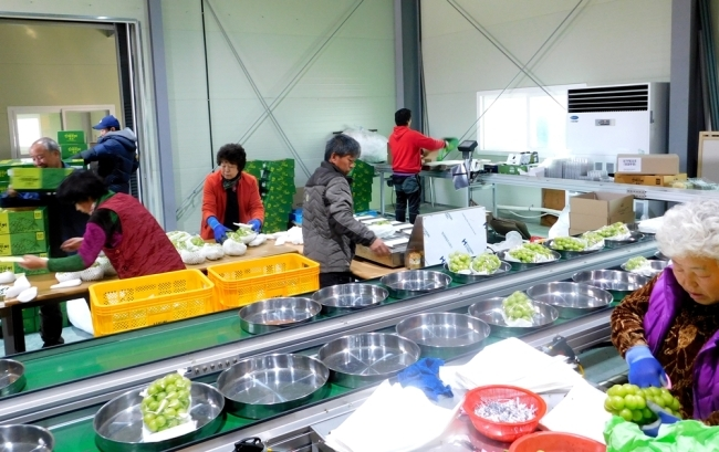 산떼루아 공동 선별장에서 직원들이 중국으로 수출할 포도를 추려내는 작업을 하고 있다. [사진=박준규 기자]