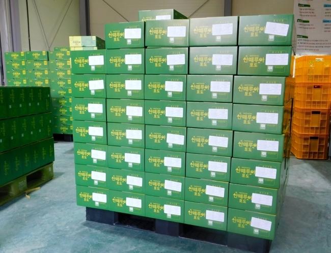 샤인머스캣이 담긴 상자. 중국 상하이, 선전으로 수출된다. [사진=박준규 기자]