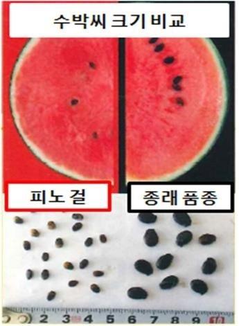 씨앗 크기를 크게 줄여서 씹어 먹을 수 있게 품종 개량한 수박.