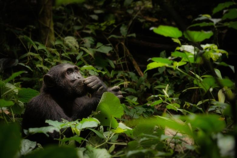 우간다 카이벌 국립공원에 서식하는 침팬지 [세계자연기금(WWF) 제공, 저작권 Cheryl Ramalho]