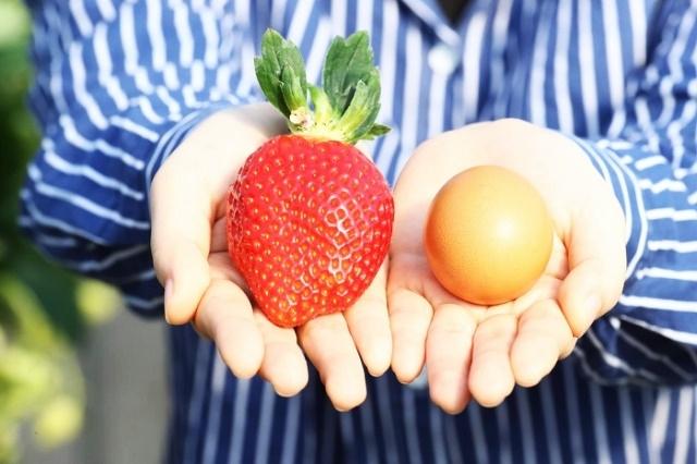 일반 딸기보다 크기가 크고 단단한 '아리향' [사진=농촌진흥청]