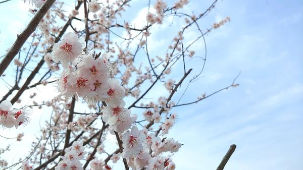 홍매화가 봄을 알리고 있다.