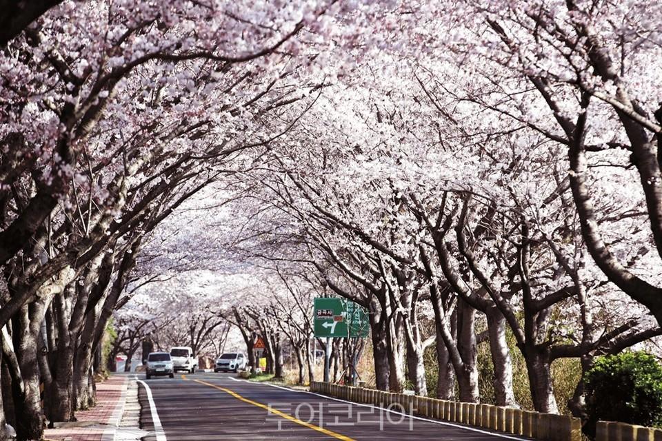 금곡사 벚꽃길 / 사진-강진군