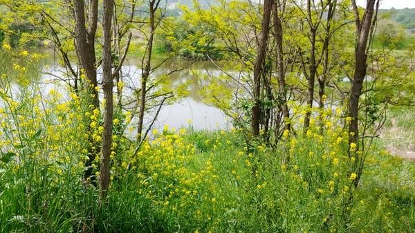 자연조성된 유채꽃밭 사이로 강물이 흐른다.