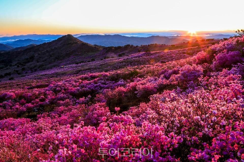 비슬산 봄 참꽃